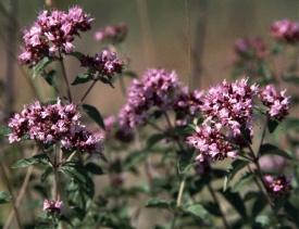 Wilde marjolein: wettelijk beschermd middels de Flora en faunawet